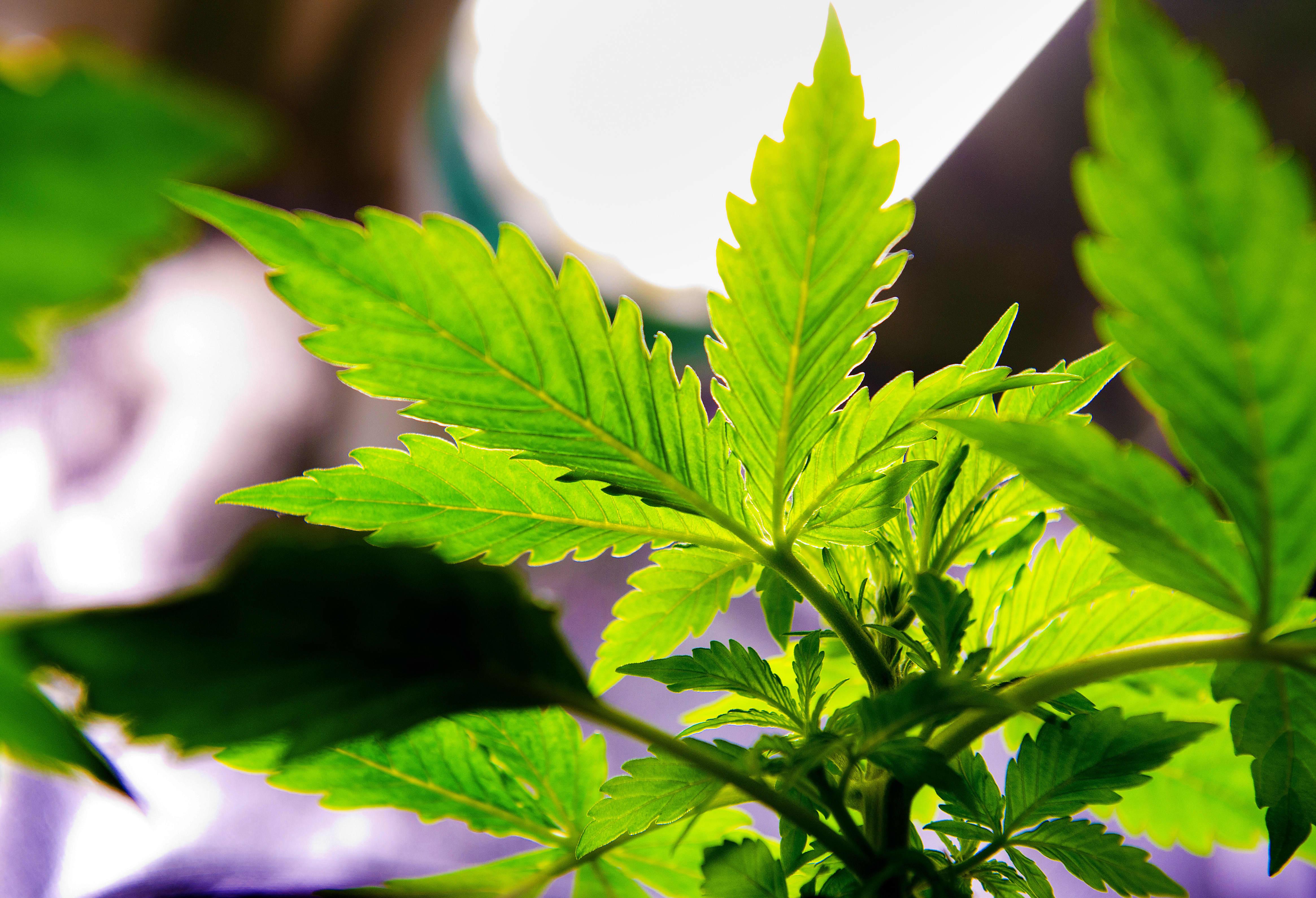 Конопля 2000 аптека медицинской марихуаны