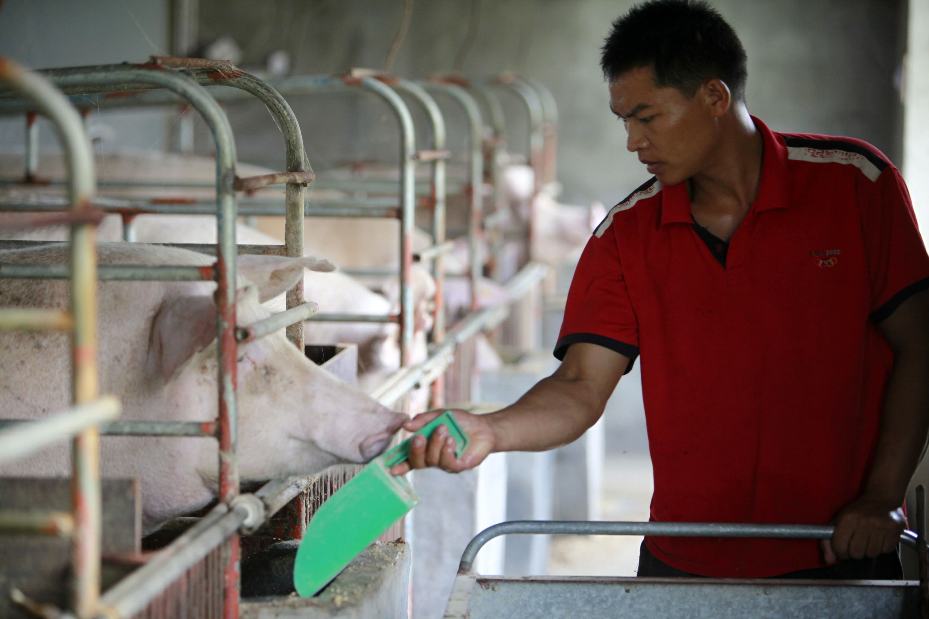 Amid swine fever outbreak, China's pork output in the first half of 2019 falls