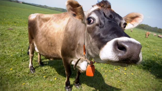 Cleaner cow burps: A climate change solution?