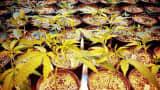 Medical marijuana growing in Denver