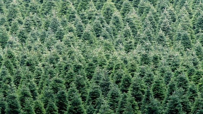 Premium: Christmas Trees North Carolina