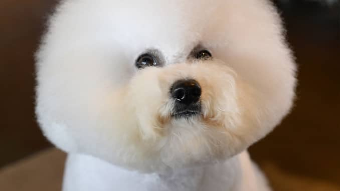 Grooming a show dog can have a $250,000 price tag