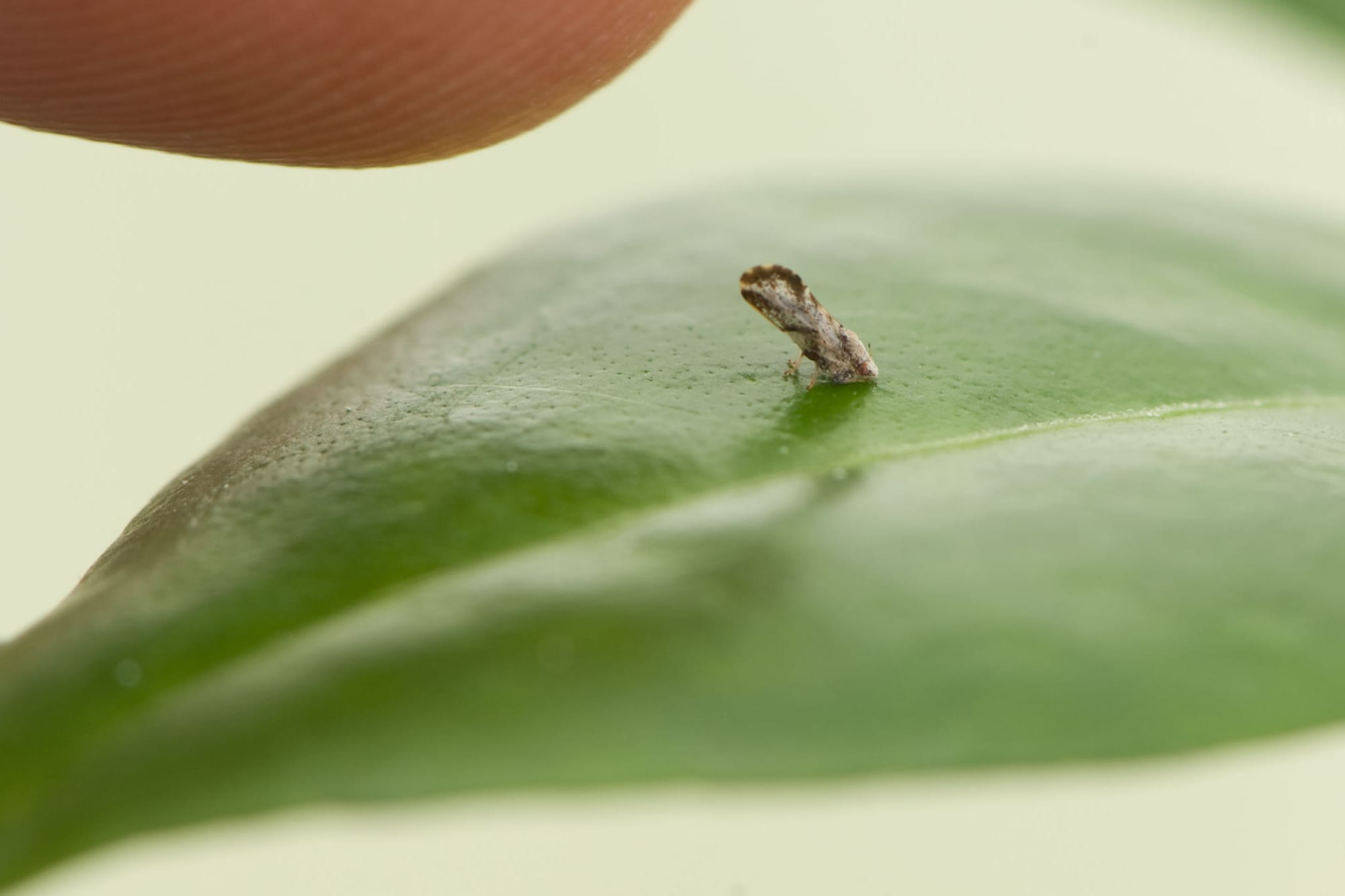 Fatal citrus disease HLB shows up in California