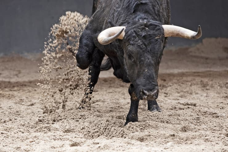Premium: Bull scratching dirt bull fighting ring