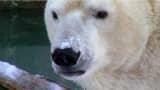 A polar bear in the Cincinnati Zoo & Botanical Garden