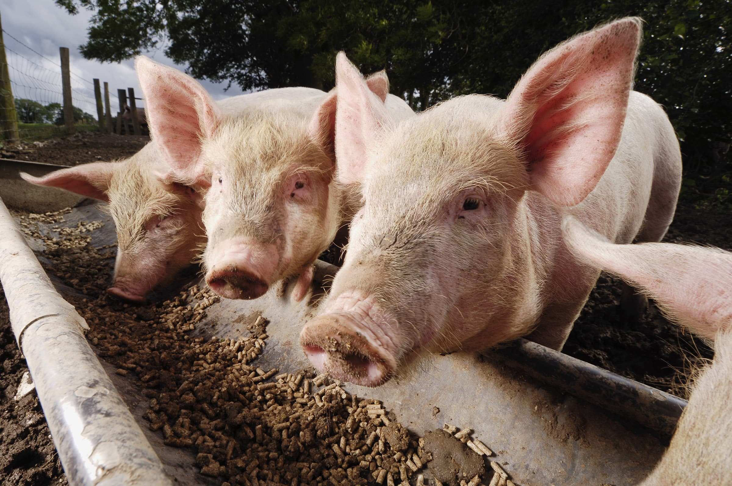 Image result for China Swine Feed