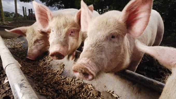 Use of China animal feed in US raises concern amid swine