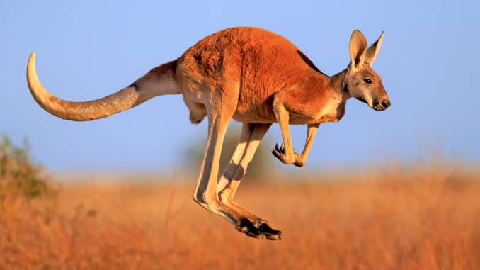Premium: Kangaroo jumping
