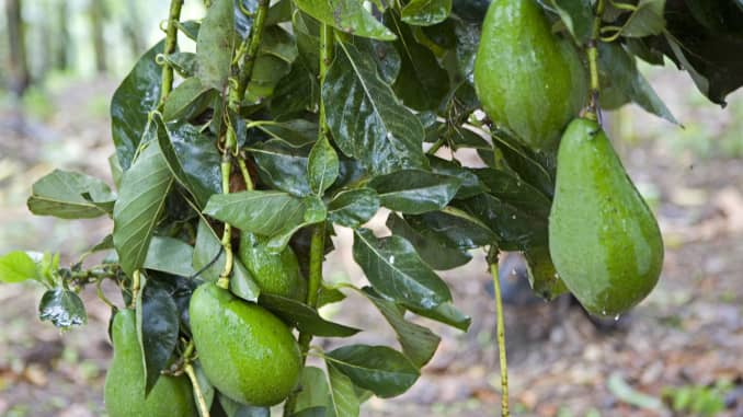 Avocados Recalled In Bulk Following Reports Of Listeria