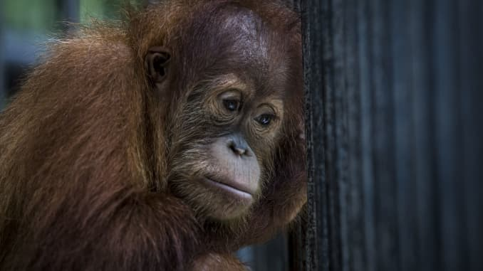 The orangutans in Indonesia have been known to be on the verge of extinction as a result of deforestation and poaching.