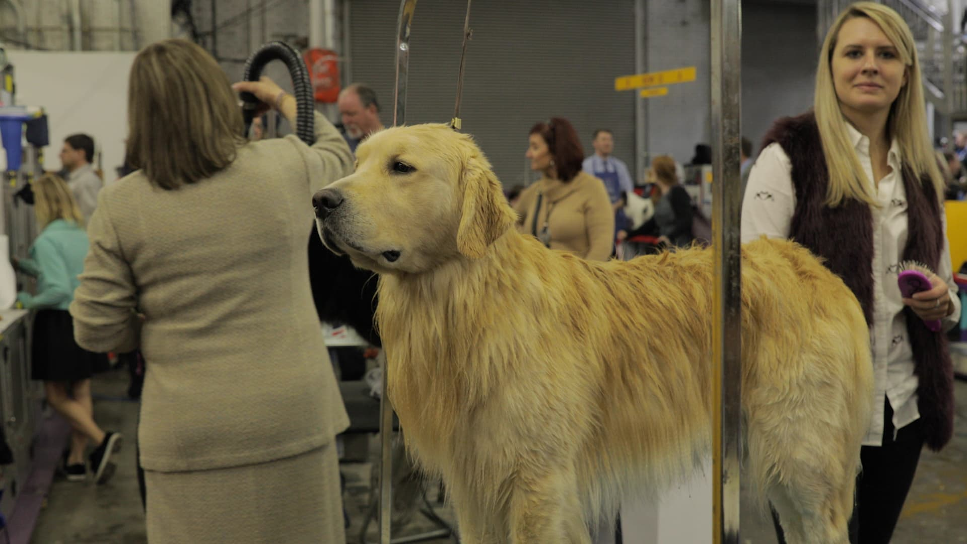Why dog owners spend thousands to compete at Westminster and