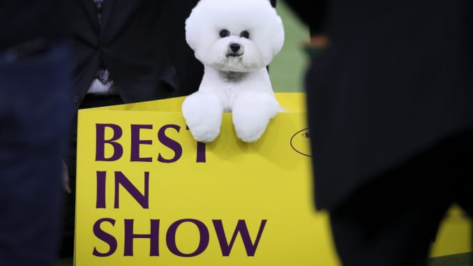 Westminster Dog Show 2020 Results.Why Dog Owners Spend Thousands To Compete At Westminster And