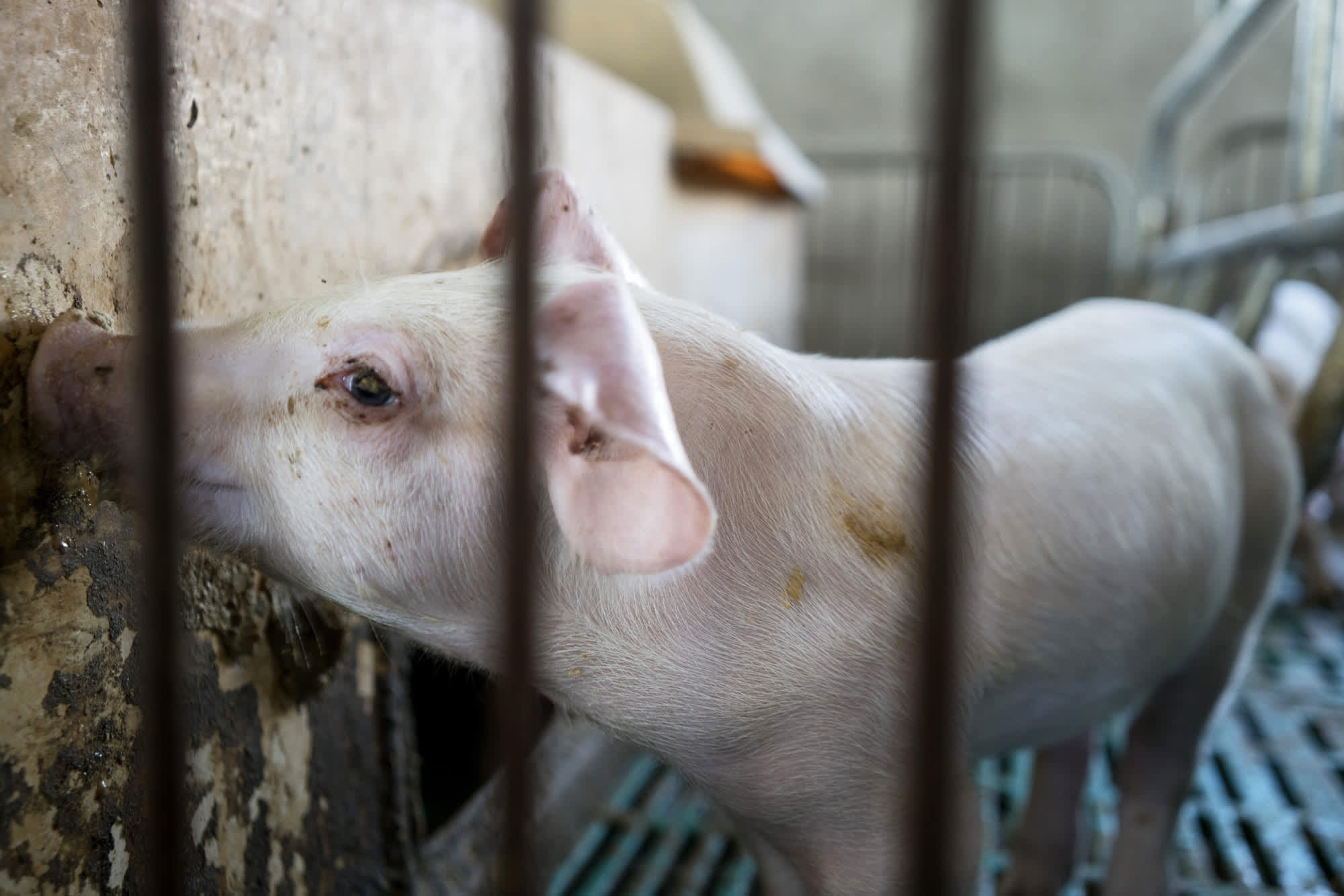 China's pork prices surge 47% in August amid swine fever outbreak