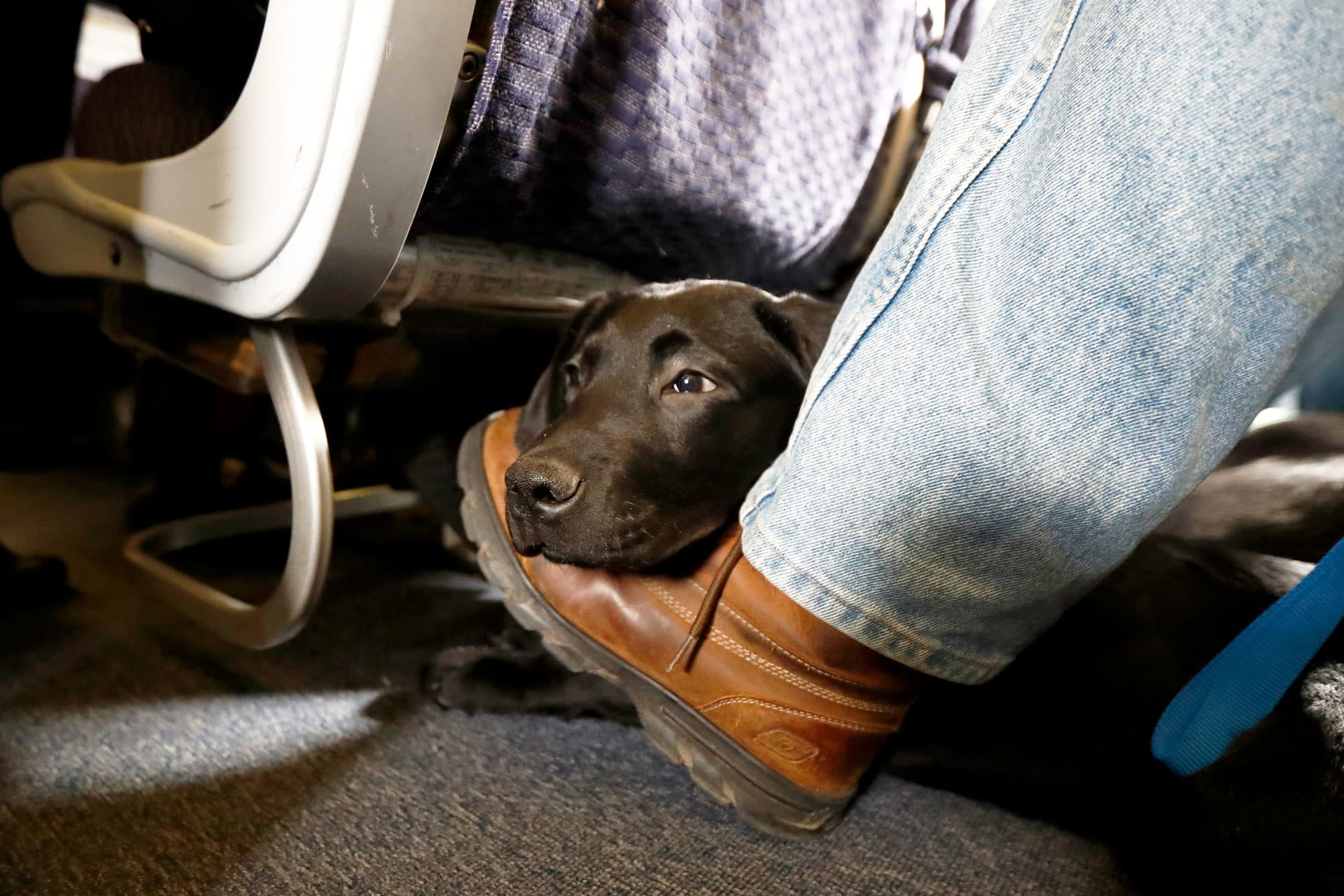 delta updates comfort animal policy to one per passenger no pit bullsdelta updates comfort animal policy to one per passenger\u2014and no pit bulls