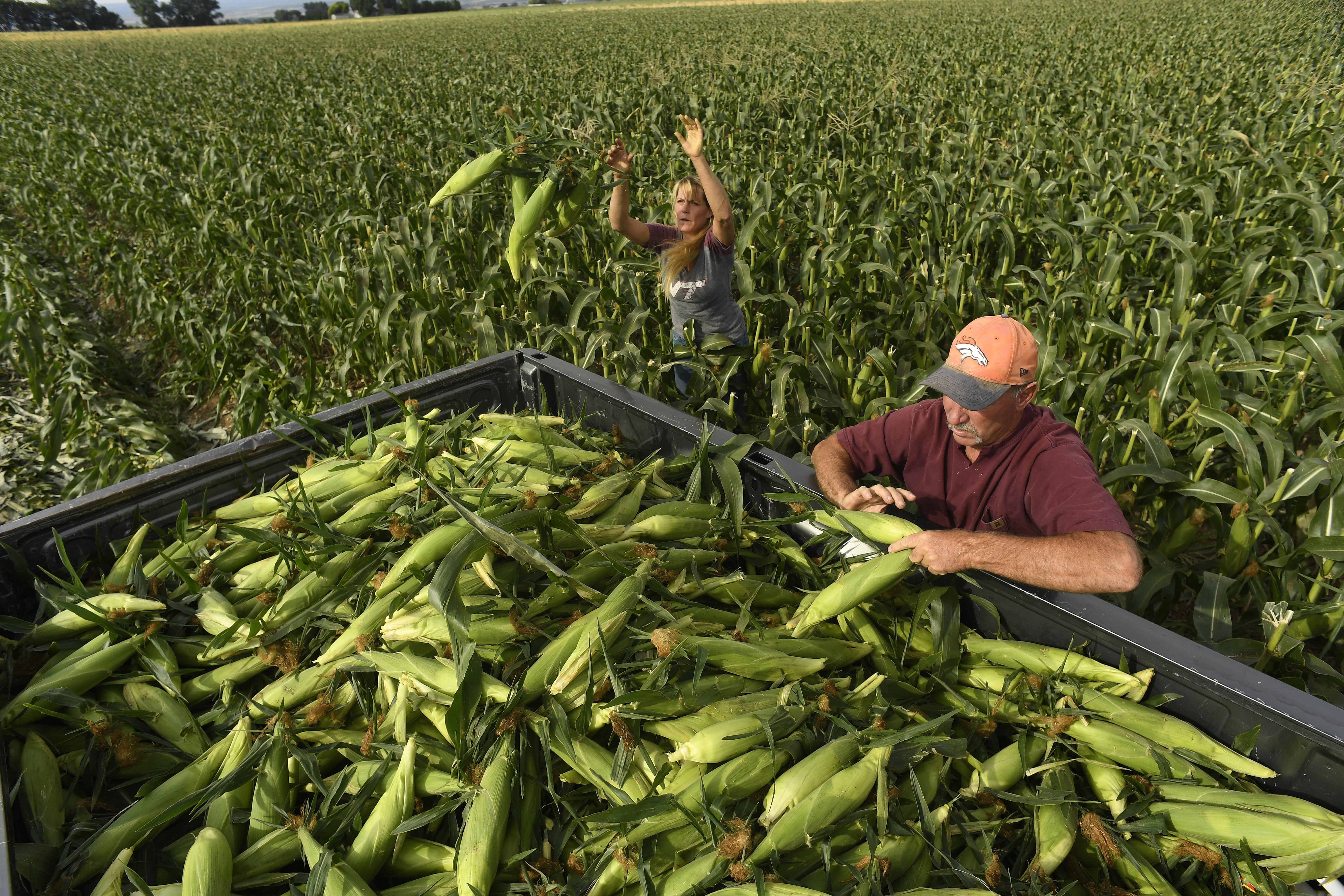 Corn futures fall after USDA forecasts bigger-than-expected US crop