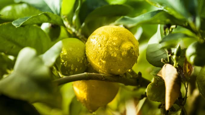 Heatwave Hits California Lemons Sending Prices Soaring