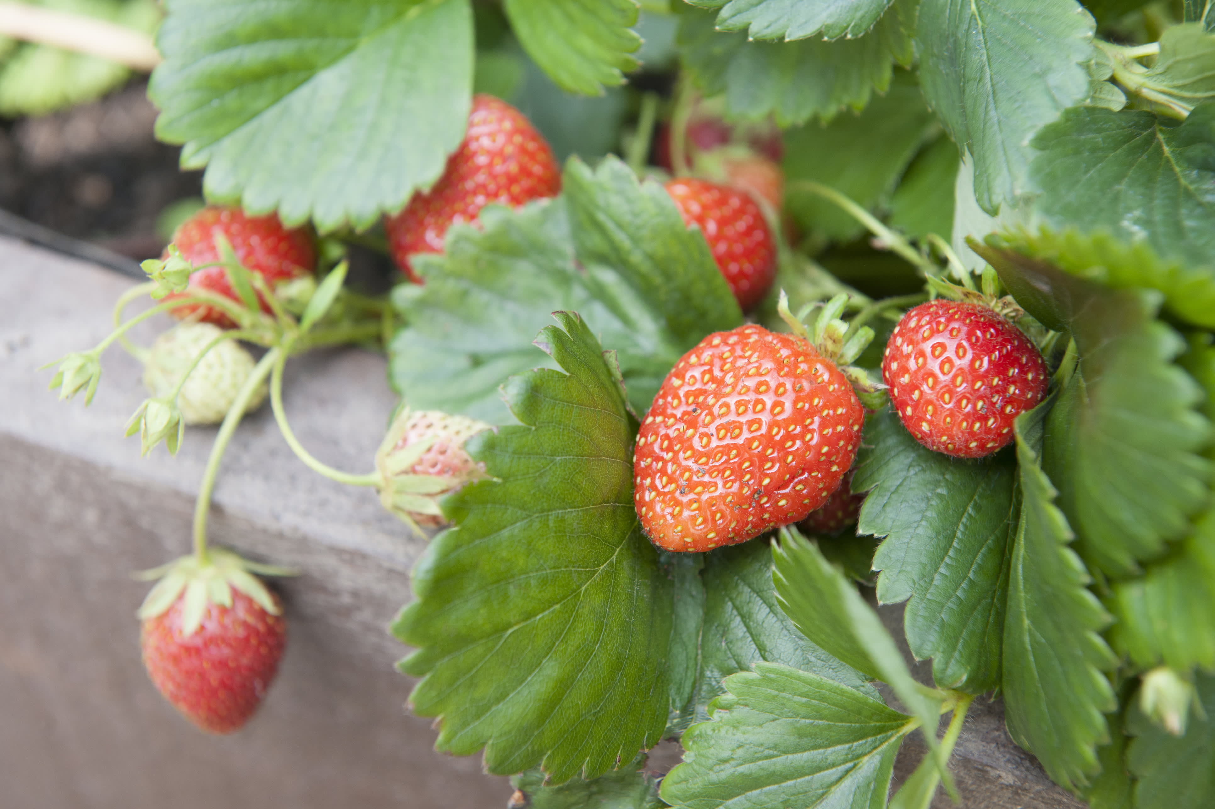 Robots could soon be picking your strawberries
