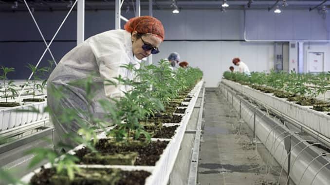 Employees tend to marijuana plants at the Aurora Cannabis Inc. facility in Edmonton, Alberta, Canada, on Tuesday, March 6, 2018.