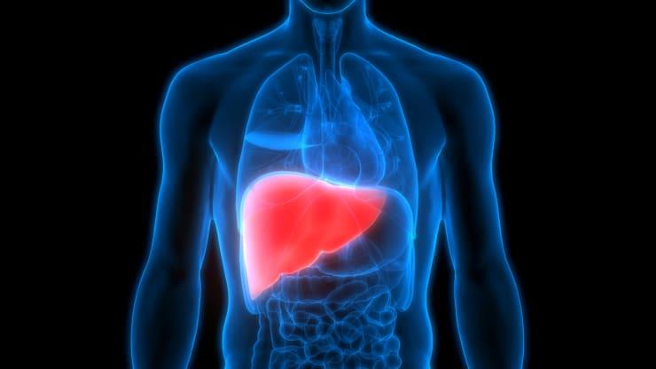 GP: Human Body Organs Anatomy (Liver)