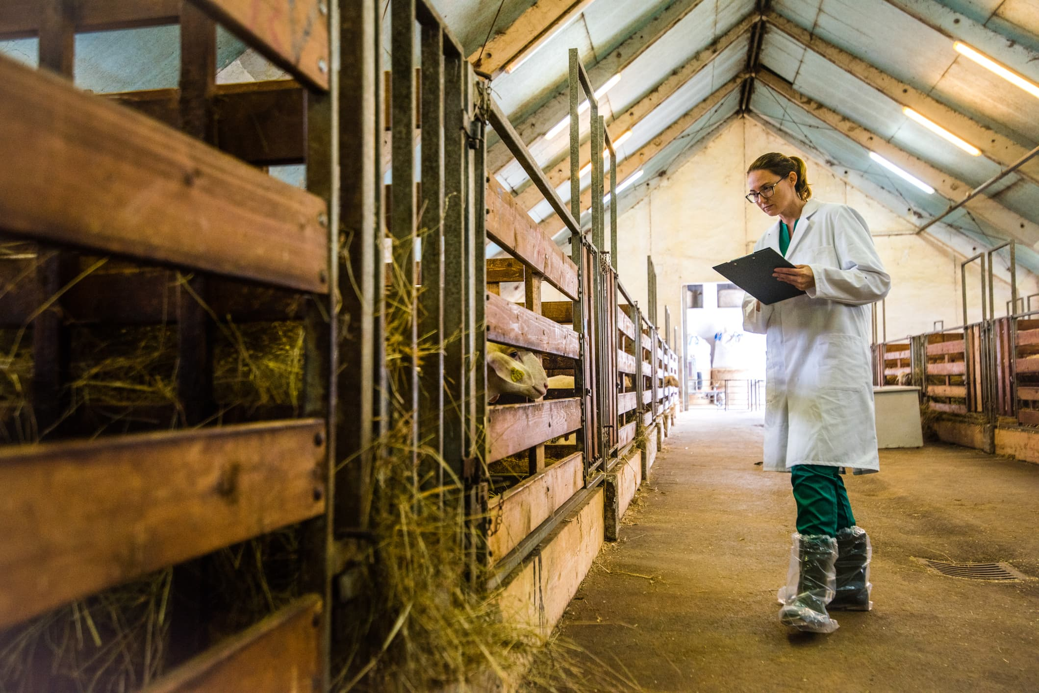 GP: Veterinarian examining sheep in barn