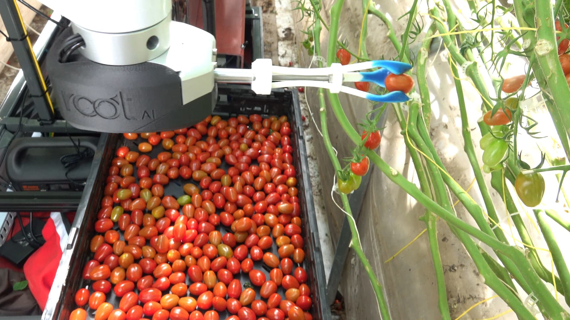 Virgo robot picks tomatoes.