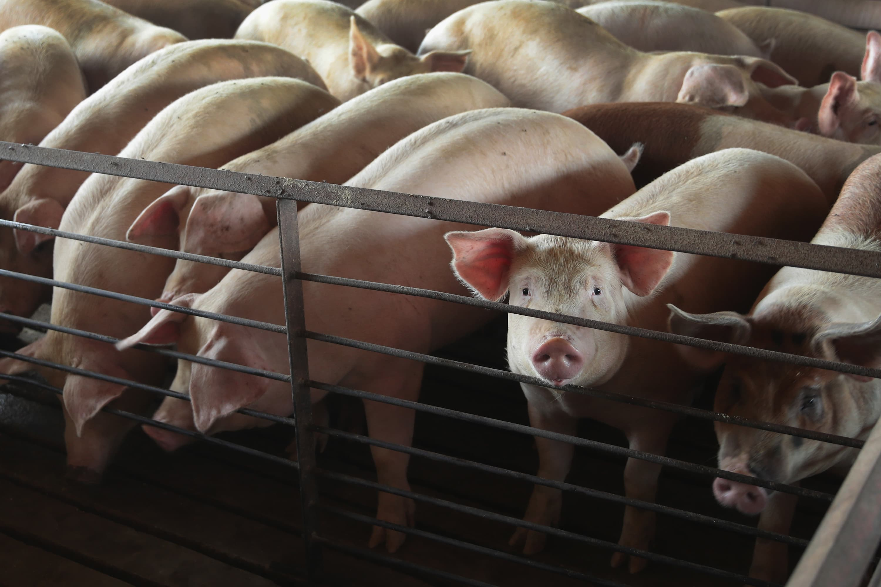 Trump's deal with Mexico, Canada welcome news for American pork producers hit by US-China trade war