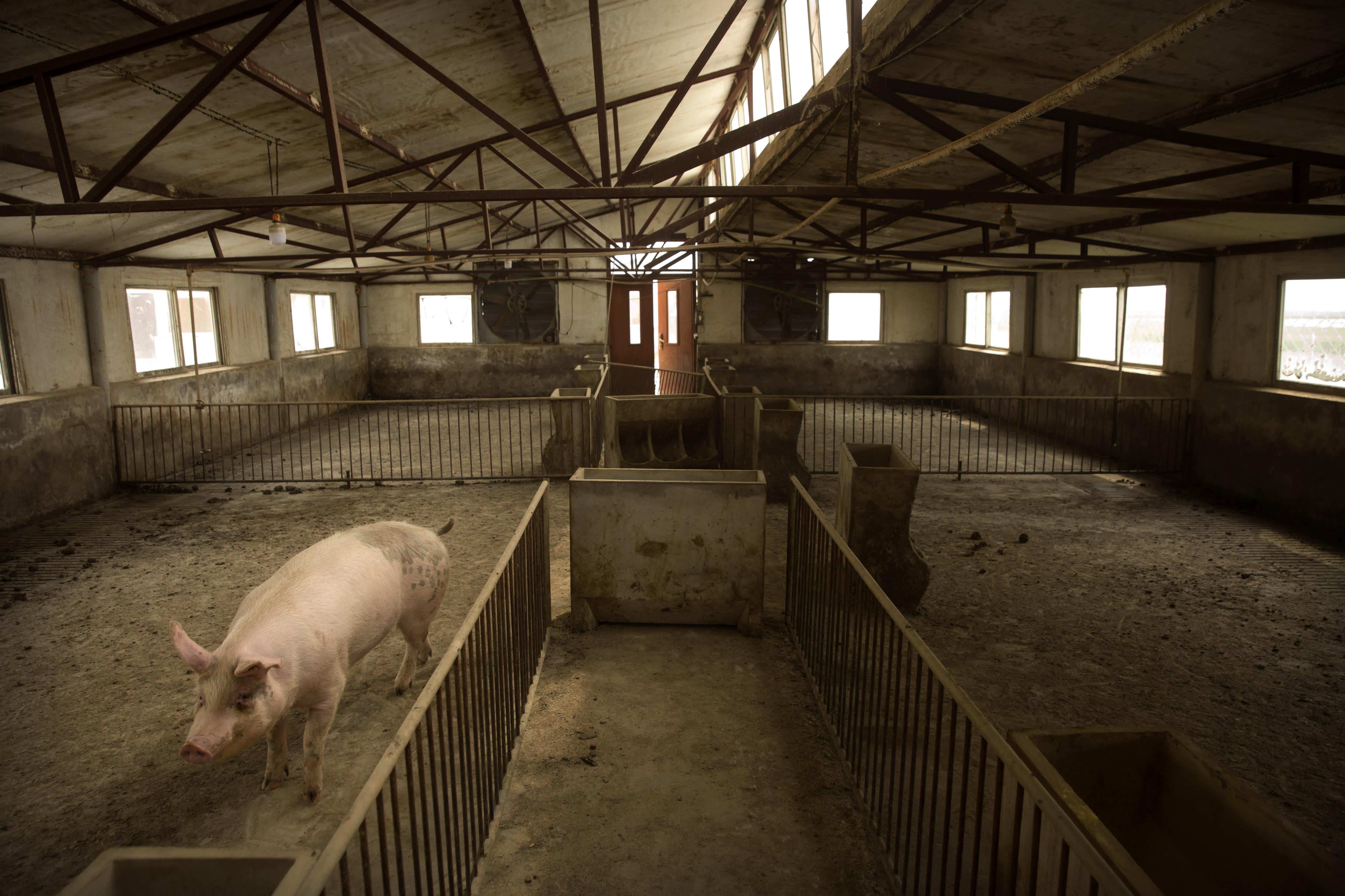 China reports African swine fever outbreak in Gansu...