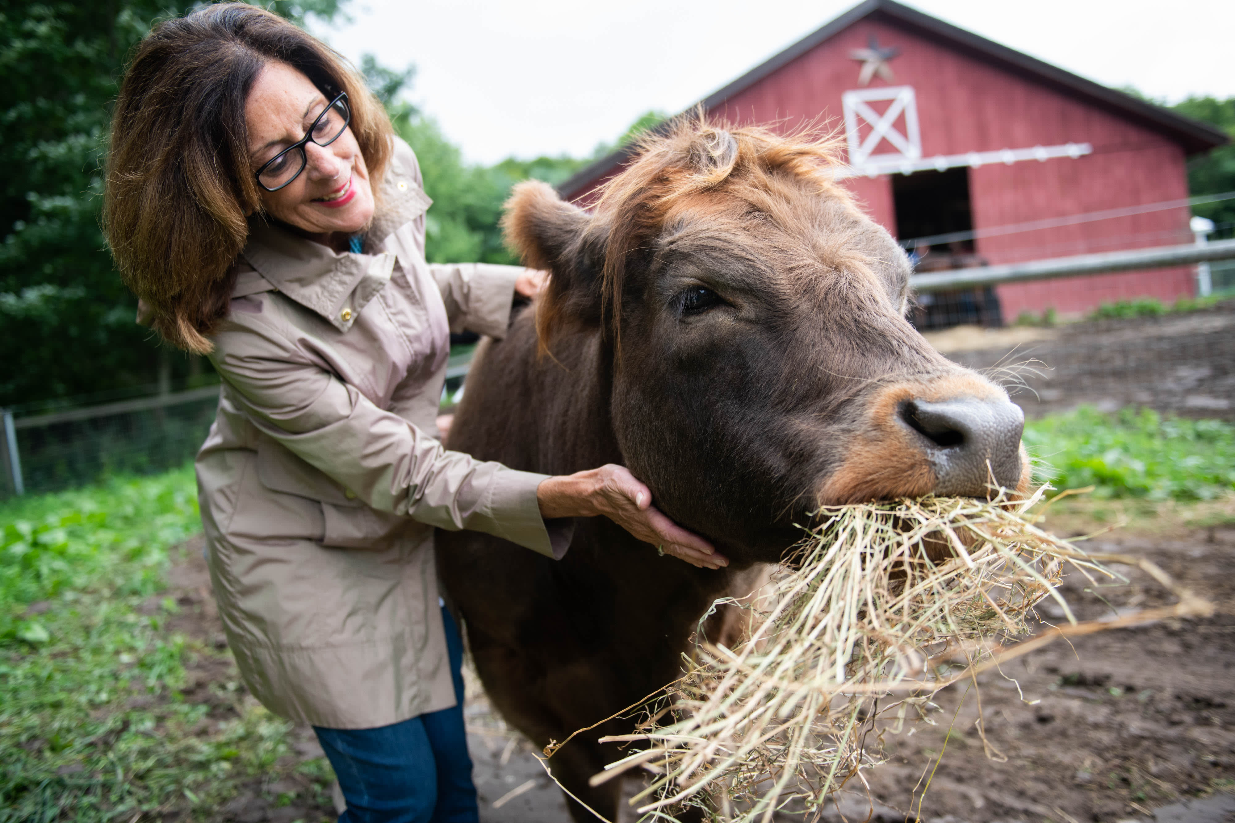 At This New York Farm You Can Cuddle A Therapy Cow For 75