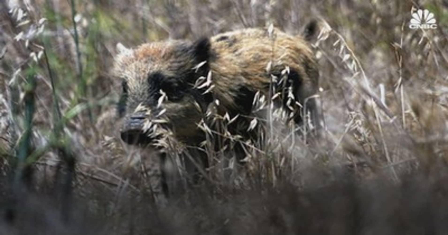 Bob Johnson Chevrolet >> Feral Pigs Destroy Property In Northern California