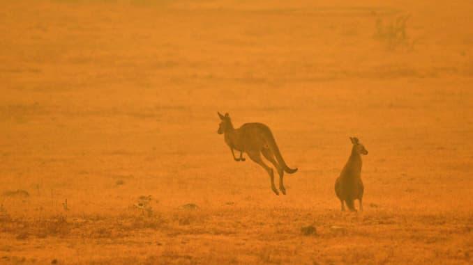 GP: Australia incendios forestales: Fauna en peligro