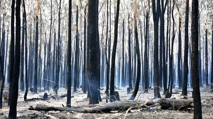 GP: Australia Incendios forestales: los árboles se queman negros después de un incendio forestal en Old Bar, a 350 km al norte de Sydney el 10 de noviembre de 2019.