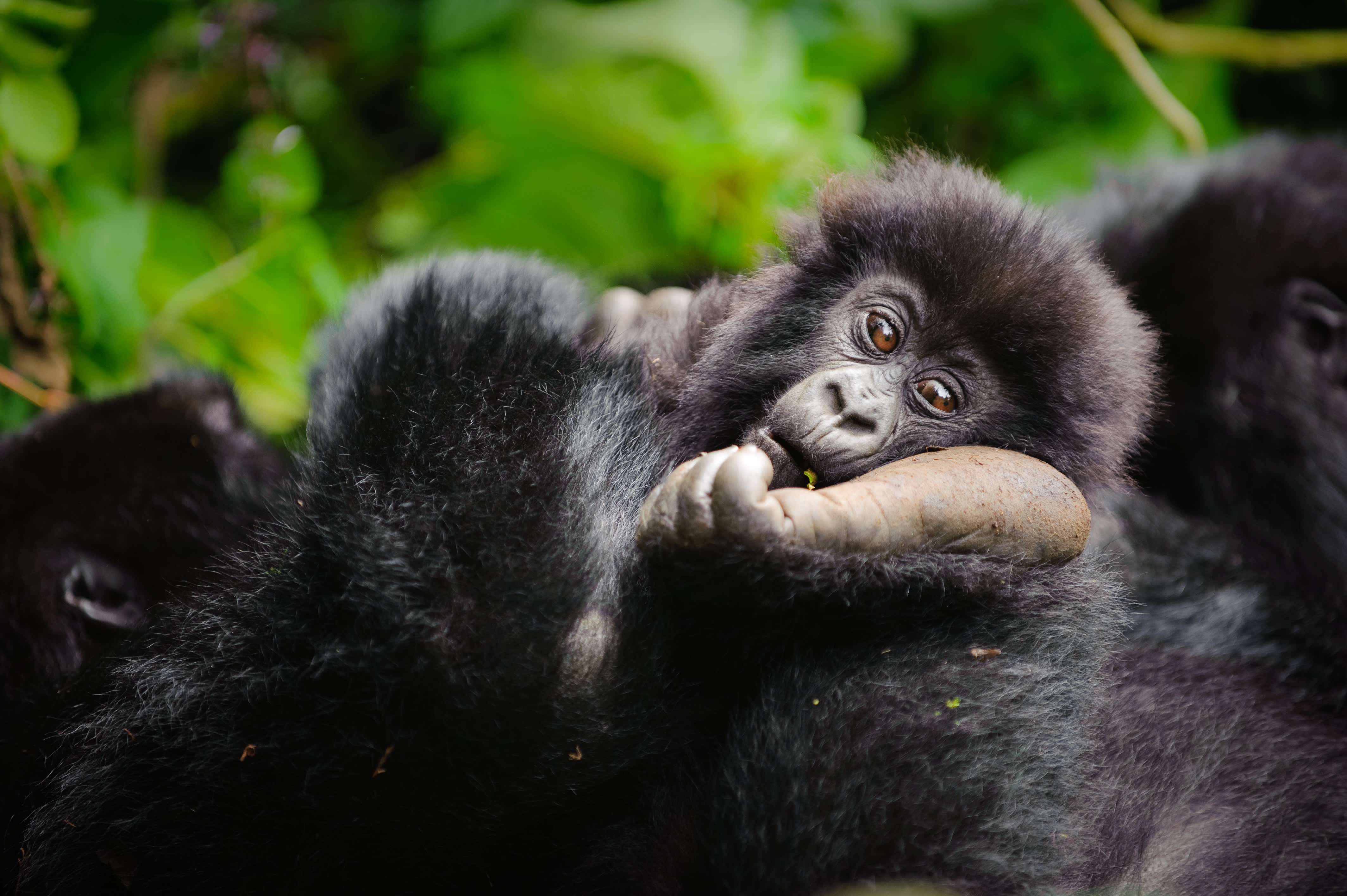 This is one of the few places in the world to see gorillas in the wild