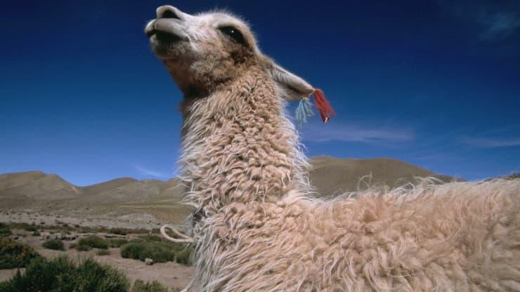 GP: Guanaco in Atacama, Chile 200130