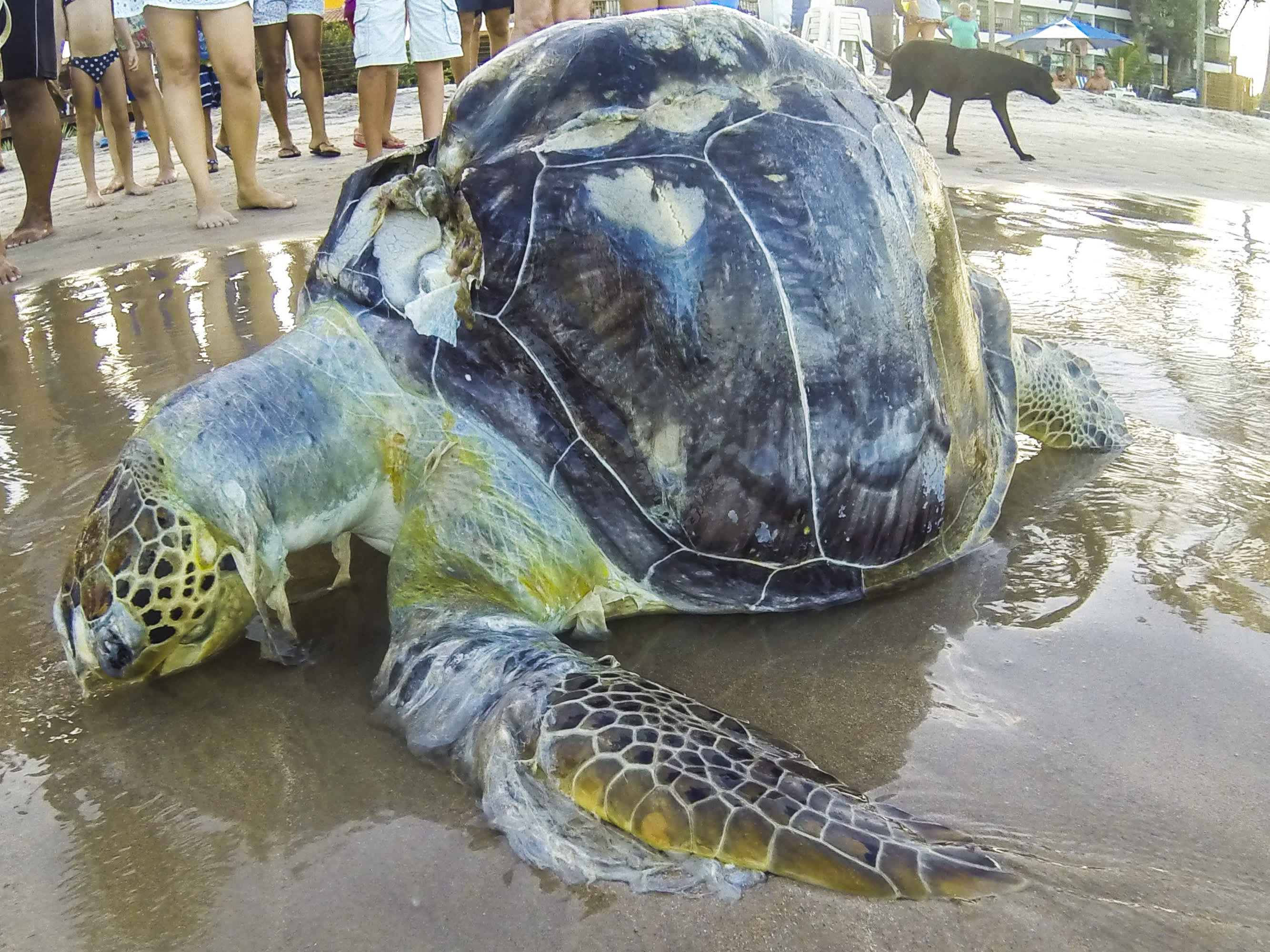 Sea turtles are eating ocean plastic because it smells like food: Study
