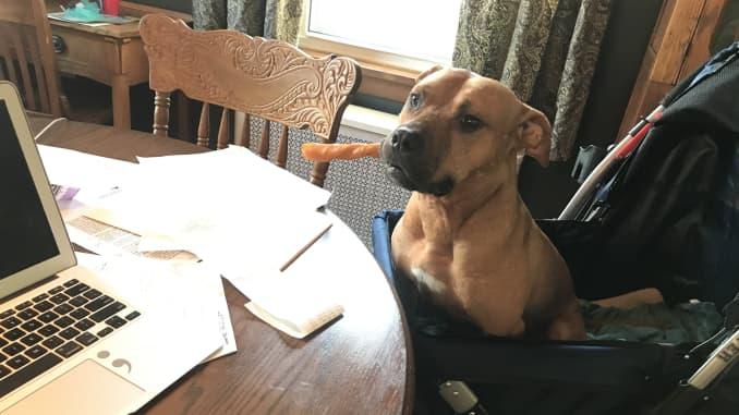 H/O: Foster dog Sesame Handsome Dan's