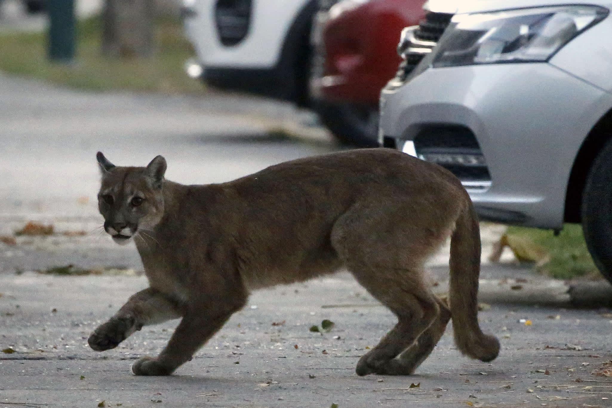 Empty streets around the world are attracting wildlife