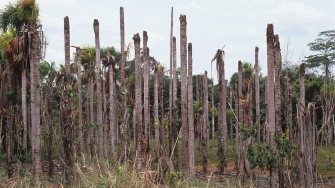 Palmeras enfermas afectadas por un virus que hace que el árbol se pudra en la selva amazónica brasileña.