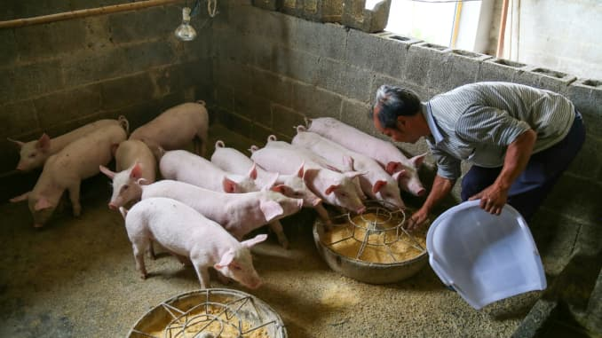 A breeder feeds piglets at a pig farm on May 13, 2020 in Bijie, Guizhou Province of China.