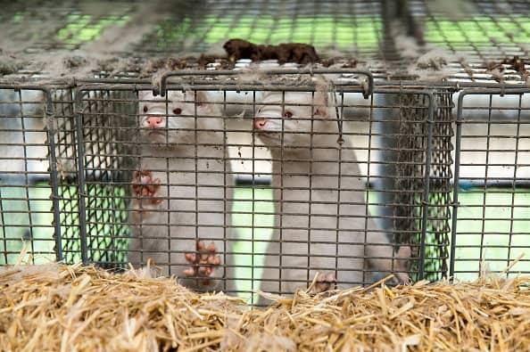 Europe tries to shut down new coronavirus strain from Danish mink farms – CNBC