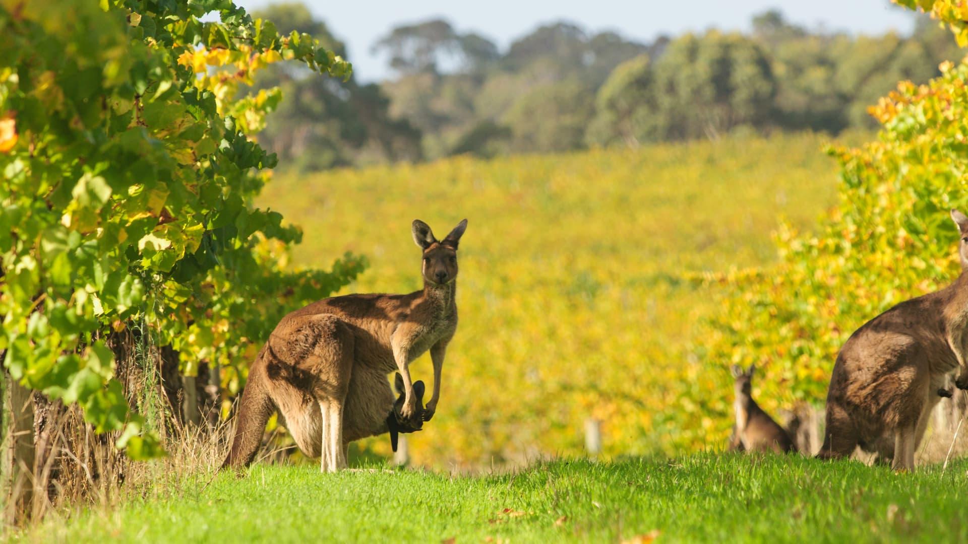Kangaroos grazing in vineyards in Margaret River, Western Australia.
