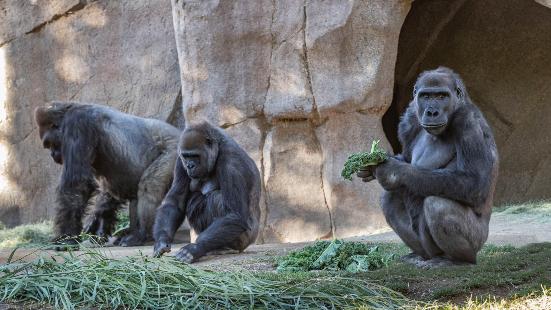 Gorillas sit after two of their troop tested positive for COVID-19 after falling ill, and a third gorilla appears also to be symptomatic, at the San Diego Zoo Safari Park in San Diego, California, U.S. January 10, 2021.