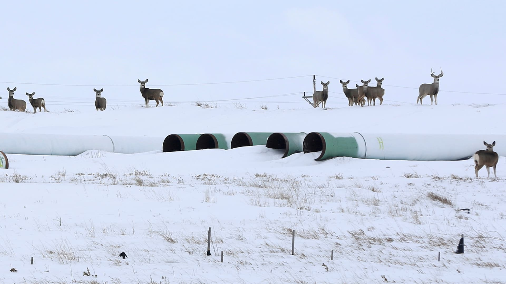 Deer gather at a depot used to store pipes for the planned Keystone XL oil pipeline in Gascoyne, North Dakota, January 25, 2017.