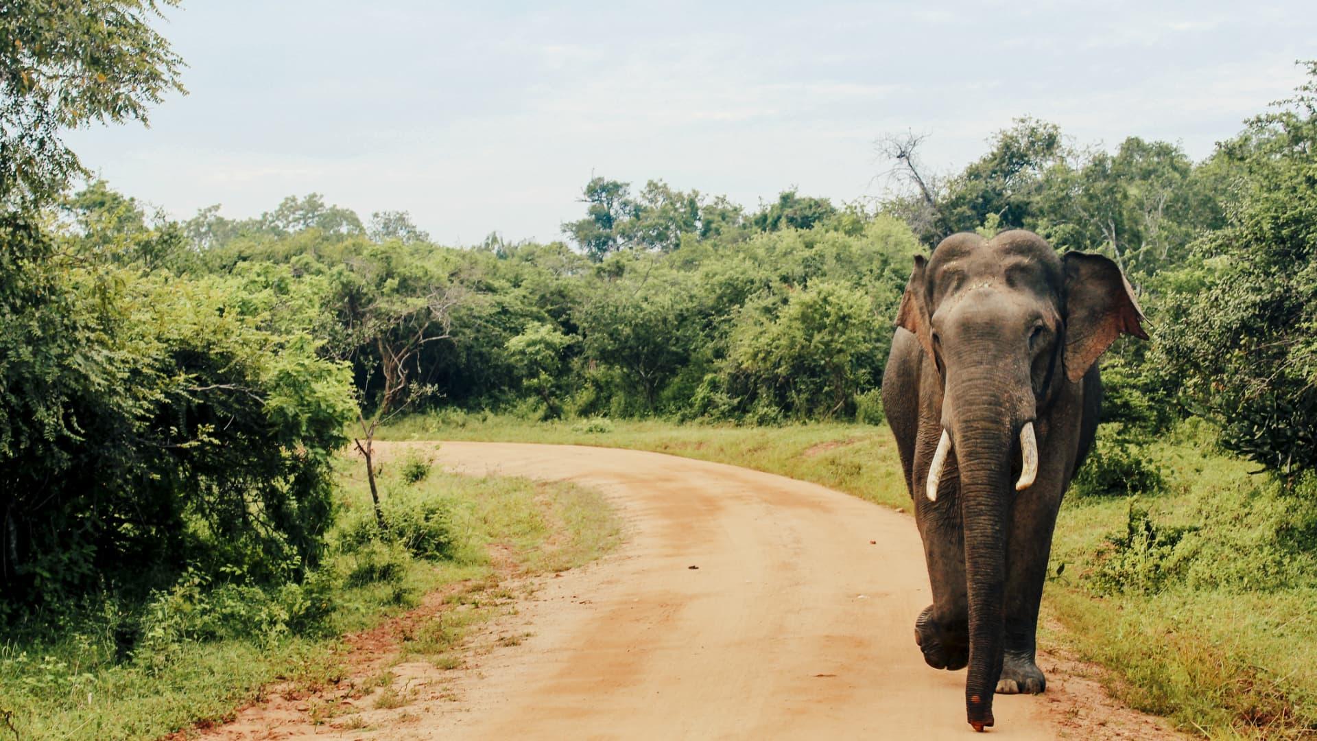 An Asian elephant walks along a dirt road at Yala National Park.