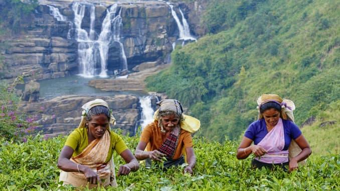 Women pick tea near the town of Nuwara Eliya in central Sri Lanka.