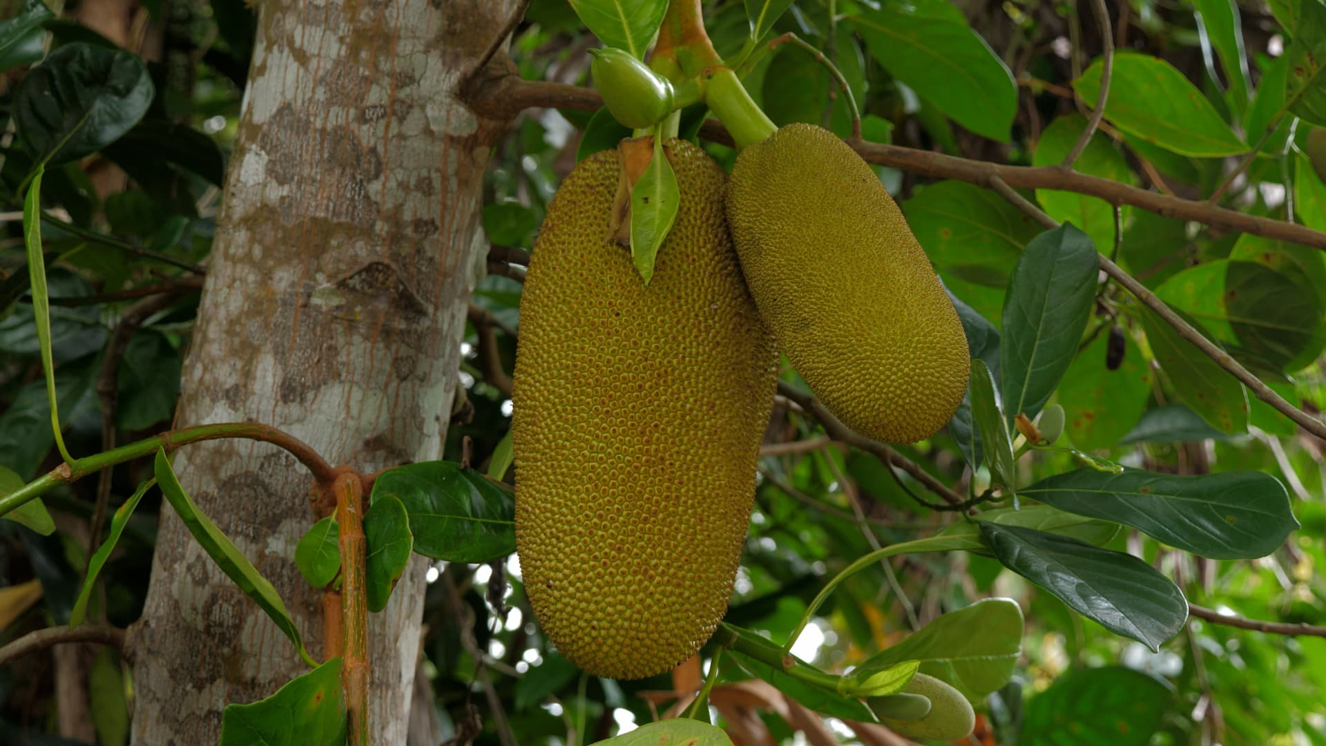 Jackfruit is commonly used in many South and Southeast Asian dishes.