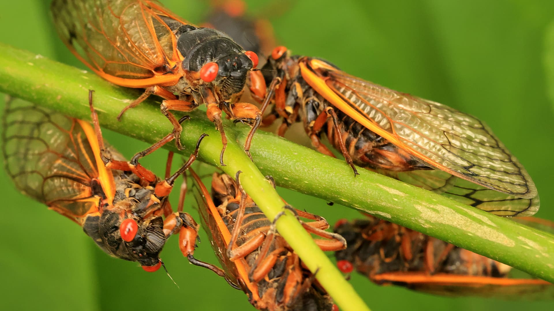 Magicicada periodical cicadas, members of Brood X, cluster on a plant at Fairland Recreational Park June 01, 2021 in Burtonsville, Maryland.