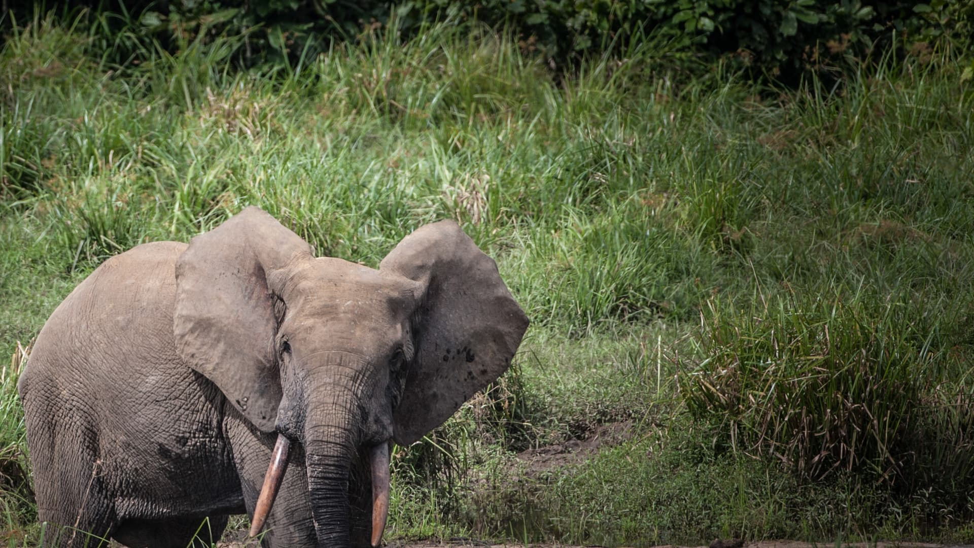 An African forest elephant is seen in Ivindo National Park on April 26, 2019.