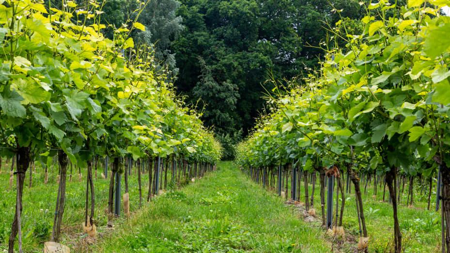 A vineyard in Surrey, England