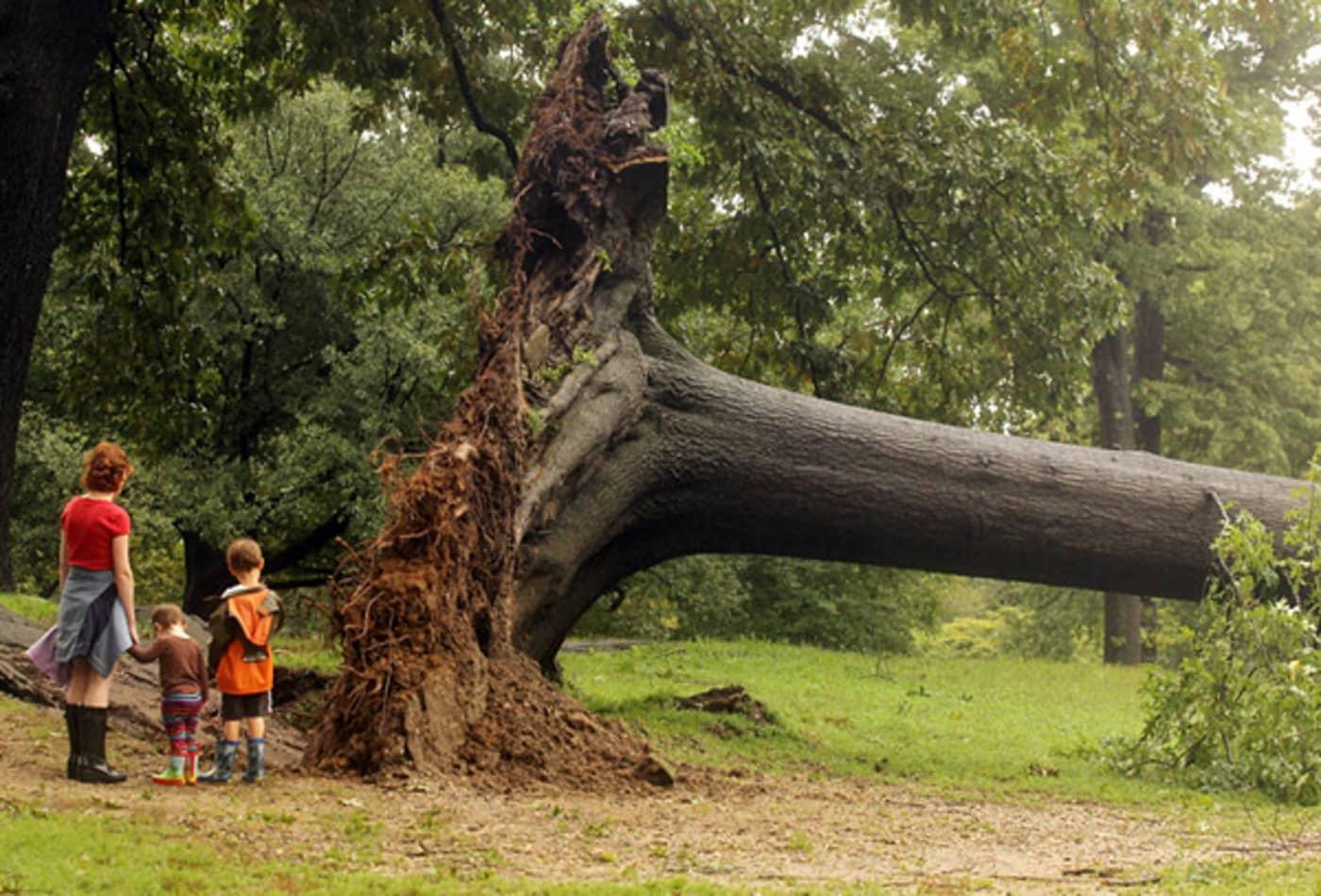 Irene_AUG28_NY_central_park_tree.jpg