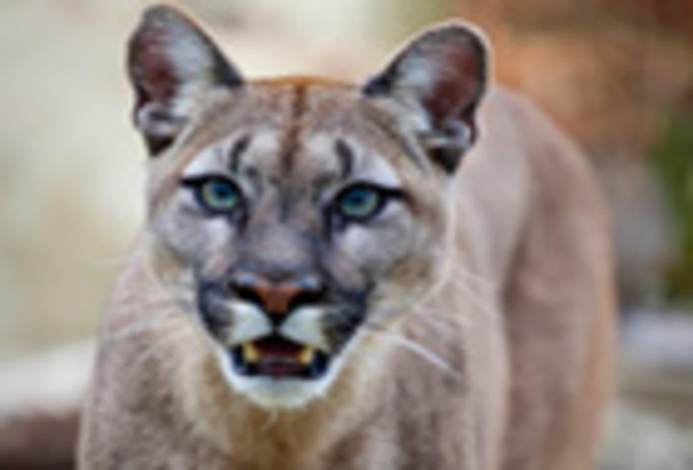 lion-mountain-cougar-140.jpg